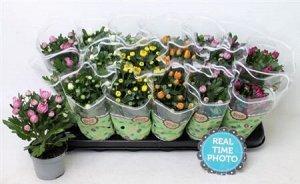Хризантема Диаметр горшка: 9 см Все в цветах и бутонах! А как пахнут 😋 Просто умопомрачительно)  Все фото наши реальные!  Хризантема очень влаголюбива, но тут нельзя переборщить. Почва в горшке всегда