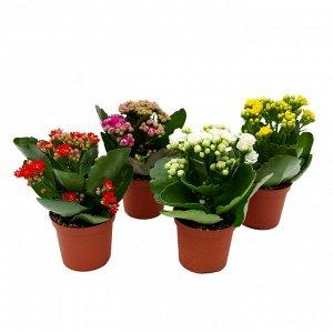 Каланхоэ Диаметр горшка: 7 см Высота примерно 15 см Все цветут! Второе фото наше реальное!  При поливе цветка необходимо придерживаться правила — лучше недолить, чем перелить. После полива лишнюю воду