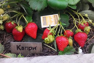 Капри Фото из интернета. Цена за 1 укорененный куст.ЗКС. Ремонтантная клубника Капри понравится садоводам любителям, находящимся в поиске самой сладкой ягоды. Однако, выращивают этот сорт не только из