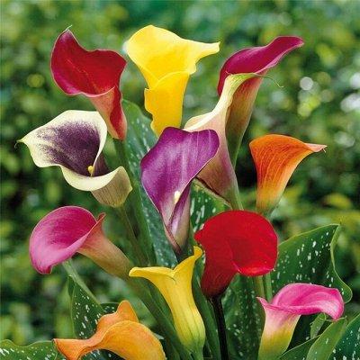 Ликвидация летнего склада:Пионы,Ирисы,Георгины,Гладиолусы — Комнатные цветы: каллы, сирийская роза — Декоративноцветущие