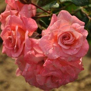 Фольклор Округлые, удлиненные, ярко-оранжевые бутоны разворачиваются в махровые цветки с высоким центром, достигающие 11-13 см в диаметре, восхитительного лососево-розового оттенка с персиково-желтым