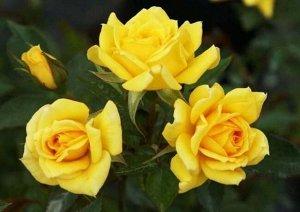 Саммер Цветки ярко жёлтого цвета, мелкие 5-6 см., махровые 25 лепестков. Куст высокий 60-70 см., обильно цветущий, зимостойкий. Сорт яркий, нарядный, великолепен в озеленении. Сорт слабо поражается за