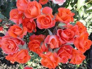 Алегрия Нежный и приятный сорт. Цвет оранжевый или оранжево-розовый. Цветки махровые до 35 лепестков, не очень крупные - до 5 см в диаметре. Лепестки махровые. Бутоны небольшие, бокаловидные. Долго де