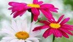 Пиретрум обыкновенный Грация, смесь окрасок