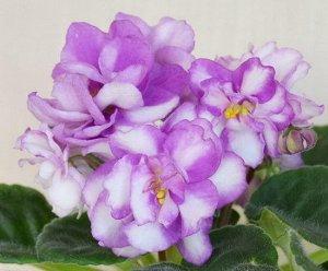 Фиалка Цветы очень крупные, махровые, белого цвета с ярко -сиреневыми краями лепестков. Почти химерный окрас. Крепкие цветоносы. Букетное цветение. (Описание автора).