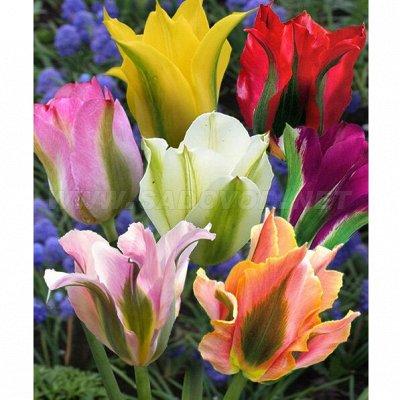 Цветочные луковицы посадка Осенью* В наличии — Миксы — Декоративноцветущие