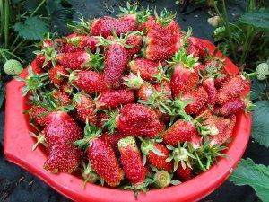 Купчиха Земклуника Купчиха - гибрид, который включен в Госреестр по выращиванию растений на всей территории страны. Это гибрид крупноплодной садовой и европейской клубники. Гибридный сорт получился на
