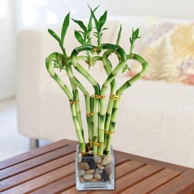 Комнатные растения! Большое поступление фикусов! — Бамбук — Декоративнолистные