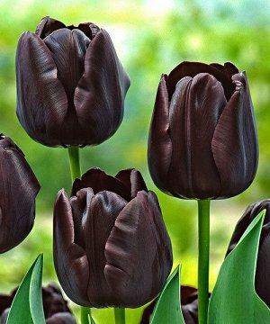 Тюльпан Паул Шерер