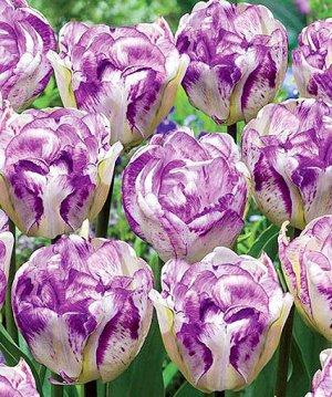 Тюльпан Дабл Ширли