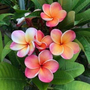 Плюмерия гавайская