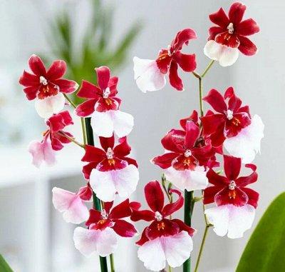 Хищный Sale! Огромный выбор комнатных растений!  — Декоративноцветущие растения — Декоративноцветущие