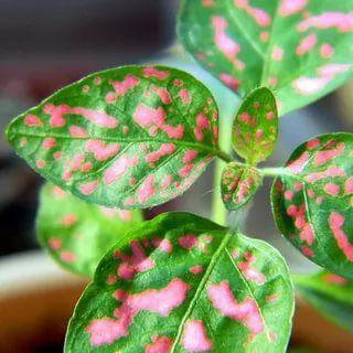 Хищный Sale! Огромный выбор комнатных растений!  — Растения до 300 рублей! — Декоративноцветущие