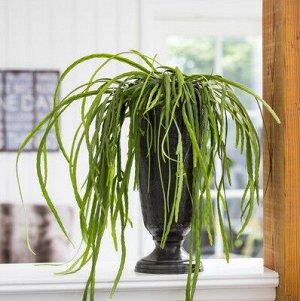 Леписмиум Диаметр 12 Высота20 Cm  Летом и весной подходит диапазон температур от 18 до 24° С. В зимнее время не подвергайте растение воздействию температур ниже 10° С.  Леписмиум легок в выращивании