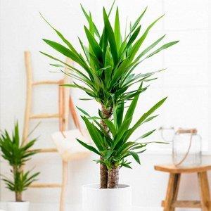 Юкка 2 ст Диаметр 17 Высота80 Cm  Юкка является одним из самых популярных растений для квартир и офисов благодаря своей выносливости и стильному внешнему виду. Ее древовидные стволы увенчаны кроной к