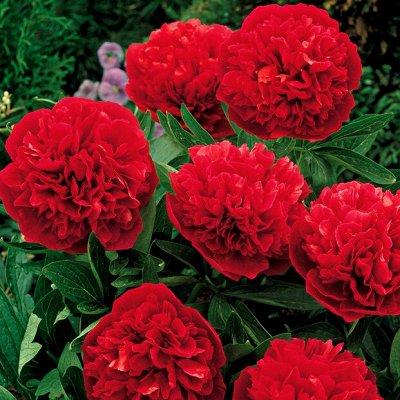 Предзаказ невероятных сортов роз и пионов!