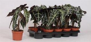 Аллоказия Диаметр горшка: 12 см Примерная высота растения: 35 см Второе фото реальное! Классная, взрослая, много листьев.  Алоказия «Полли» является не только декоративным растением, но и лечебным. Ле