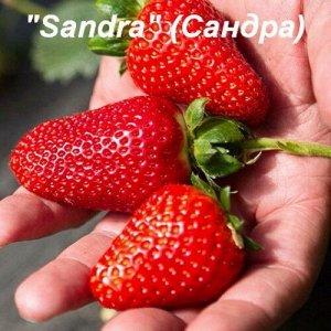 """САНДРА Клубника """"Sandra"""" (Сандра) - один из самых ранних сортов. Срок созревания на 6 дней раньше сорта Альба!!!      В отряде очень ранних сортов пополнение – встречайте клубнику Сандра.      Ягоды с"""