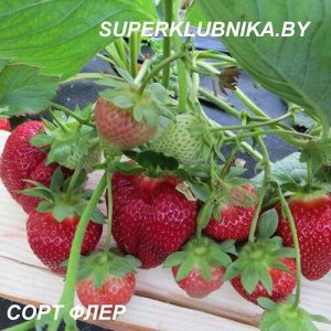 ФЛЭЙР Когда некоторые только мечтают попробовать первую ягоду в сезоне, Вы можете в полной мере насладиться очень сладкой и вкусной ягодой сорта «Флер». А что может быть вкуснее первой в сезоне ягоды,