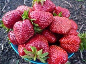 Венди Урожай Венди один из самых ранних, поэтому сорт отлично подходит фермерам, цена на первую ягоду самая высокая. Транспортабельность хорошая, лежкость до 4-5 дней без потери товарных качеств. Ягод