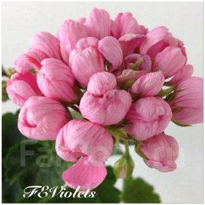 Черенок пеларгонии Pink Pandora, тюльпановидная