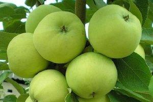 Яблоня Крупноплодная
