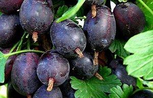 Крыжовник Крыжовник Черная капля получил свое название из-за грушевидной формы и темно-красного, почти черного окраса ягод. Этот сорт хорош своими вкусовыми качествами, крупноплодностью, высокой устой