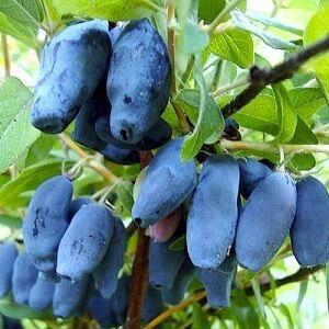 Восторг Замечательный ранний сорт с очень крупными и очень вкусными сине-фиолетовыми ягодами полностью подтверждает название! Веретенообразные, длиной до 5 см и массой до 2,8 г ягоды с сочной и плотно