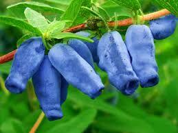 Сибирячка Форма плодов вытянутая, слегка изогнутая. Ягоды темно-фиолетового цвета покрыты легким восковым налетом. Аромат исходит приятный, нежный. Мякоть кисло-сладкая и очень сочная, легко отделяетс
