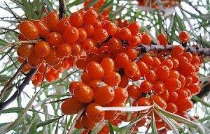 Джемовая Куст слаборослый, с округлой кроной средней густоты. Побеги совсем без колючек. Плоды оранжево-красные, с ярким, большим пятном на верхушке плода и у основания плодоножки. Содержание в плодах