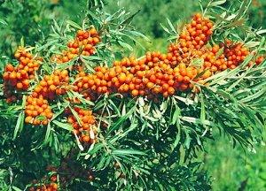 Жемчужница Включен по Западно-Сибирскому (10) региону РФ. Очень раннего срока созревания, десертный, пригоден для потребления в свежем виде. Растение высотой 2,0-2,5 м, с овальной кроной. Колючки очен