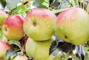 Чудное Яблоня «Чудное» – карликовый морозостойкий сорт, обладающий множеством положительных качеств. Среди них обильное плодоношение, замечательный кисло-сладкий вкус яблок, способность переносить сур