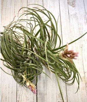 Тилландсия Фото наше реальное!  Атмосферная тилландсия – привлекательный воздушный цветок, который весьма популярен у любителей экзотов. Это многолетнее эпифитное растение паразитирует на деревьях и к