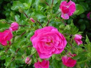Роза дикая розовая