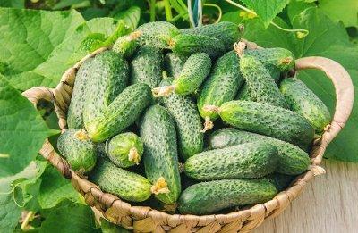 Семена Алтая. — Огурец — Семена овощей