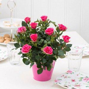 Роза мелкоцветочная розовая