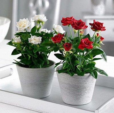 Хищный Sale! Огромный выбор комнатных растений!  — Роза — Декоративноцветущие