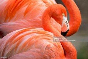 """Раскраска на картоне """"Прекрасные фламинго"""" А3, в кор."""