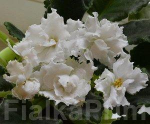 Фиалка Крупные чисто – белые махровые цветы с волнистыми краями лепестков. Аккуратная зелёная розетка.