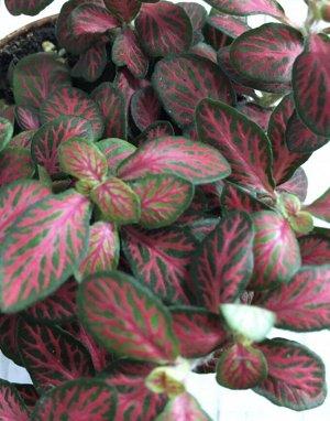 Фиттония 6 Диаметр горшка: 7 см Фото наше реальное! Идеальна для флорариума. Высокая влажность является самым важным фактором хорошего самочувствия фиттонии, поэтому наш климат будет для неё идеален:)