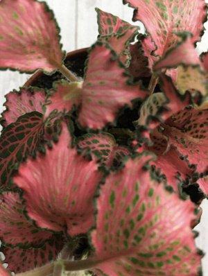 Фиттония 3 Диаметр горшка: 7 см Фото наше реальное! Идеальна для флорариума. Высокая влажность является самым важным фактором хорошего самочувствия фиттонии, поэтому наш климат будет для неё идеален:)