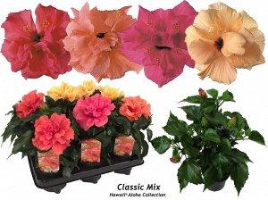 """Гибискус Диаметр горшка: 13 см Высота примерно 35 см   На Гаваях считается цветком любви, ветки с ярко цветущими цветками дарят любимому человеку.  🌸 Гибискус 🌸 Многие называют этот цветок """"Китайская"""