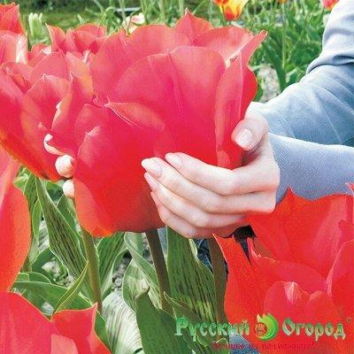 🌱 Цветущий сад🌱 Новые луковицы!!! Осенняя посадка! — Луковицы Российский гигант — Декоративноцветущие