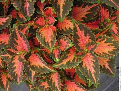 Цветочный дворик 💐 — Колеусы — Декоративноцветущие