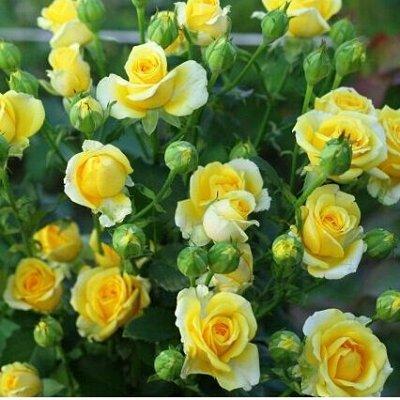 Бутик Одежды для Растений + Фильтры для Цветочных горшков — Покров для Мини-РОЗ (Маленьких кустистых Розы - Спрей) — Садовый инвентарь