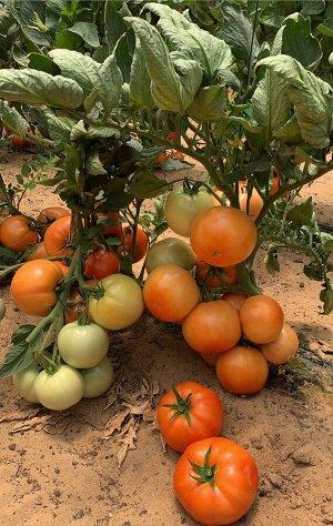 СЕМКО Томат Стан 5000 F1 (новинка 2021, свыше 350г) / Среднеспелые гибриды с округлыми плодами, массой свыше 200 г