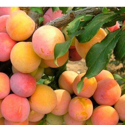 Саженцы местного поставщика — Плодовые кустарники и деревья 1 — Плодово-ягодные