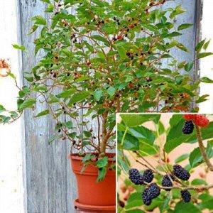 Шелковица карликовая Dwarf Mulberry