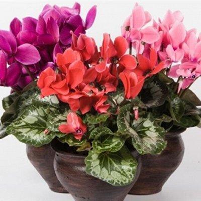 Цветочная - цветущие цикламены - 280 р — РАСПРОДАЖА!!! Цикламены — Декоративноцветущие