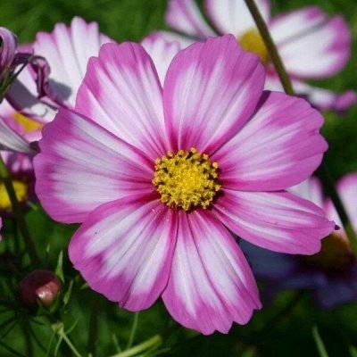 Семена от бегонии до петунии, а также семена овощей и зелени — Цветы однолетние. — Семена однолетние